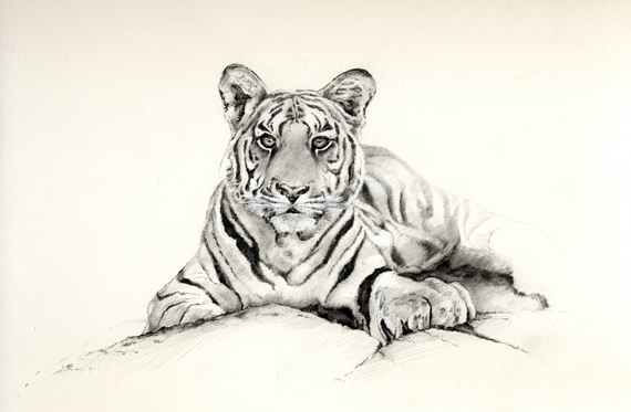 Tiger - Click to Return to Gallery